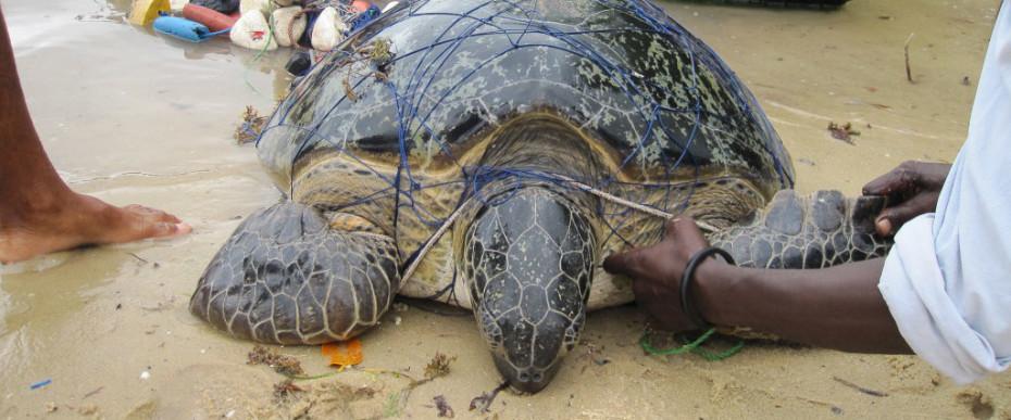 Sea Turtle, Watamu Turtle Watch