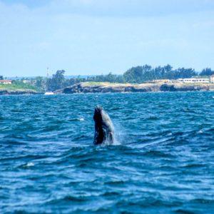 Humpback Whale in front of Watamu